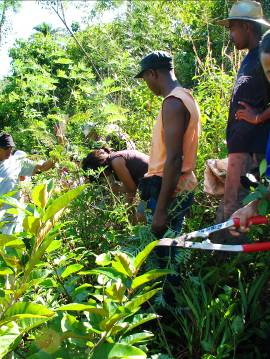 First pruning of Tephrosia sp.hedgerows in an on-farm trial in Ambonivato, adjacent to Parc Ivoloina, Madagascar, 2009.